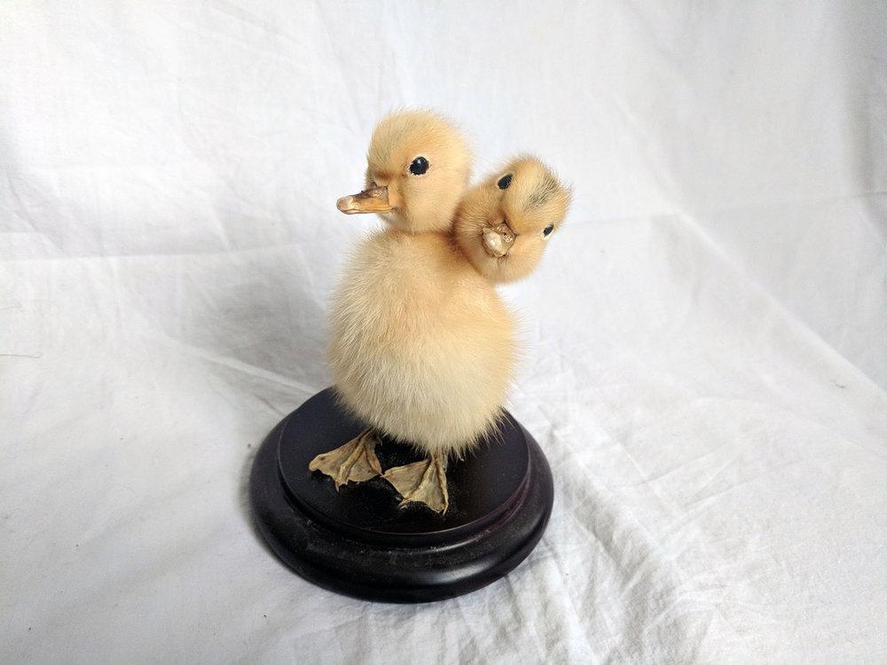 Two headed duck (1).jpg