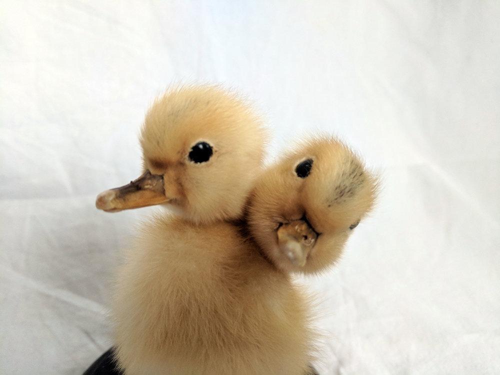 Two headed duck (3).jpg