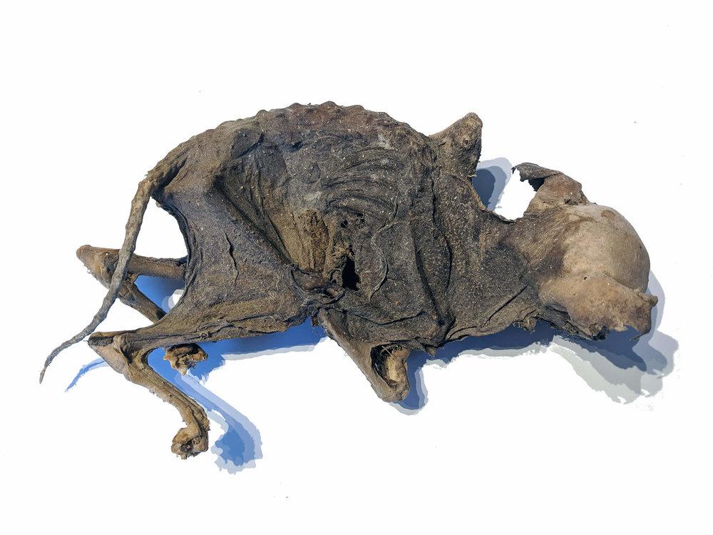 Mummified kitten (1).jpg
