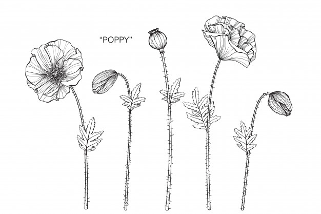 poppy-flower-drawing-illustration_35970-243.jpg