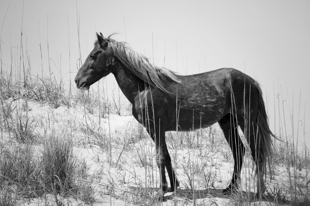A wild Spanish Mustang in the Outer Banks