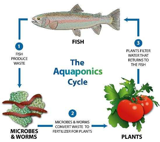 Courtesy of  https://www.motherearthnews.com/organic-gardening/aquaponic-gardening-growing-fish-vegetables-together