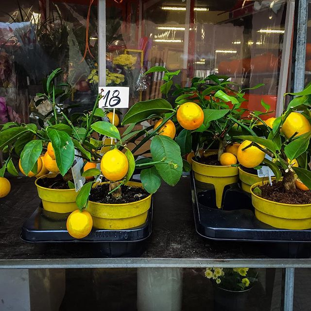 when life gives you lemons, water them and enjoy the bright tang they add to your days ------------------ #enjoy #fruitsofyourlabor #makeyourgardengrow #purposedriven #goaldigger #plantbased #motivation #worldofwonder #mothernature #fruit #wanderlust #womenentrepreneurs #worklifebalance #slowtravel #plovdiv #bulgaria #market #interestinlife #financialfreedom #miniretirement #takeabreak #savoreverymoment #makelemonade #enjoythejourney #exploremore