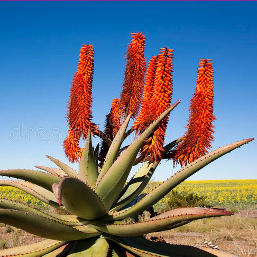 MM-Web-African-aloe-plant-placeholder.jpg
