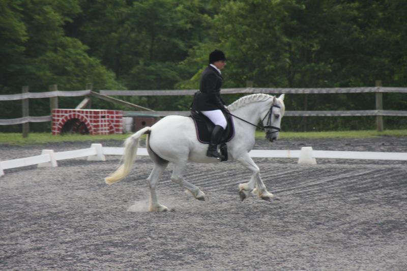 Fox Trot, Welsh Percheron Pony Mare