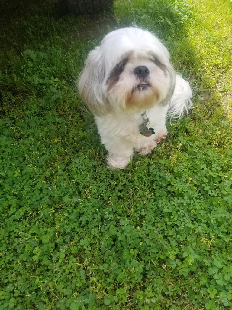 Gordon the Lhasa Apso dwelling in the lush spring glow; photographed by Shelby Pimentel Wilson.