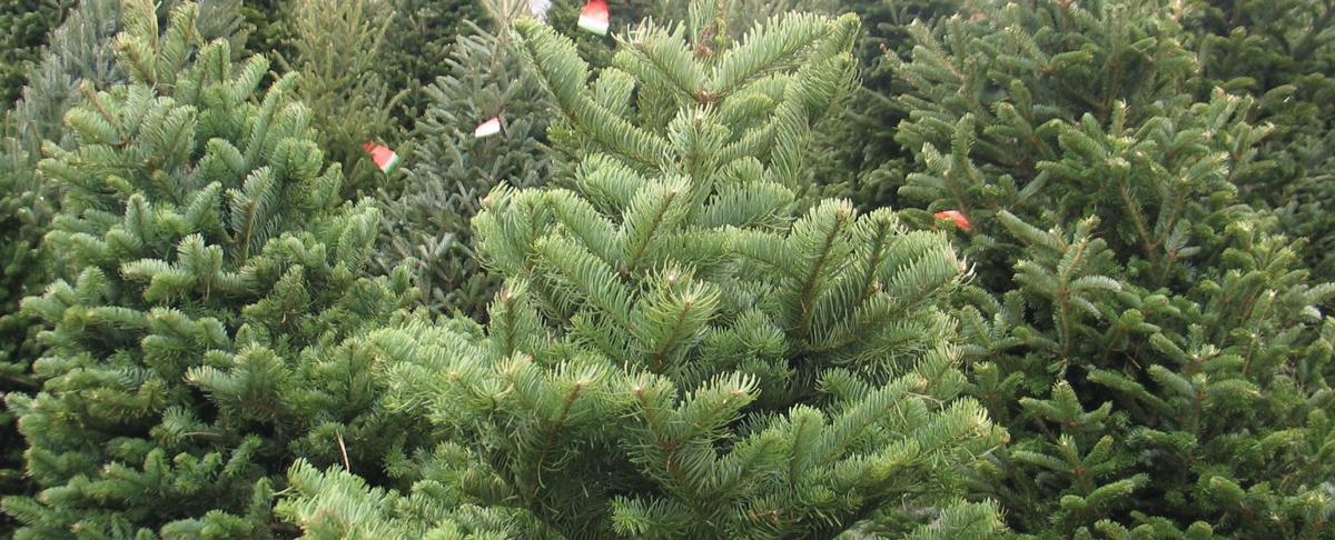 deep christmas tree roots in ramona the guide to ramona - Pinery Christmas Trees