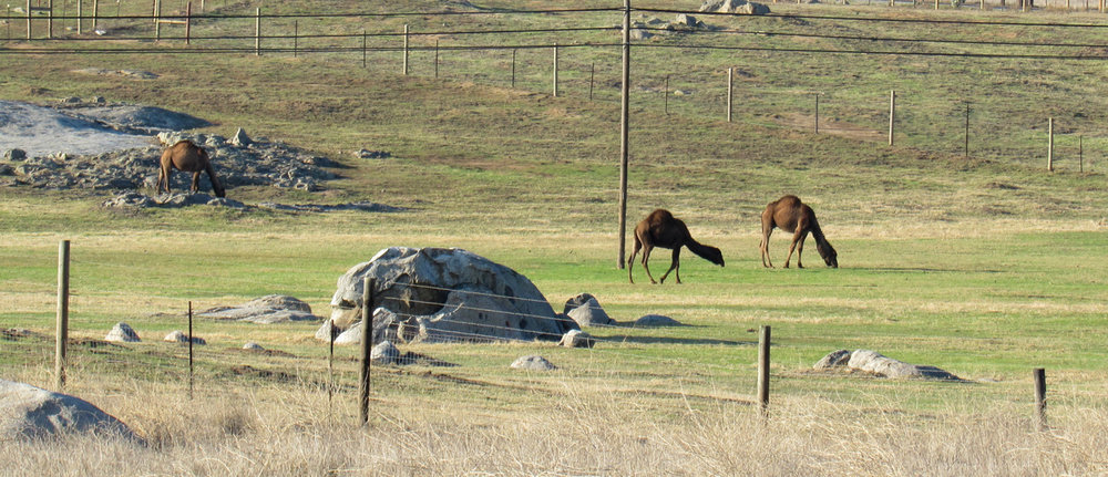 Seen from a distance, Oasis Camel Dairy's residents are still big enough to attract attention.  Photos by Charlene Pulsonetti