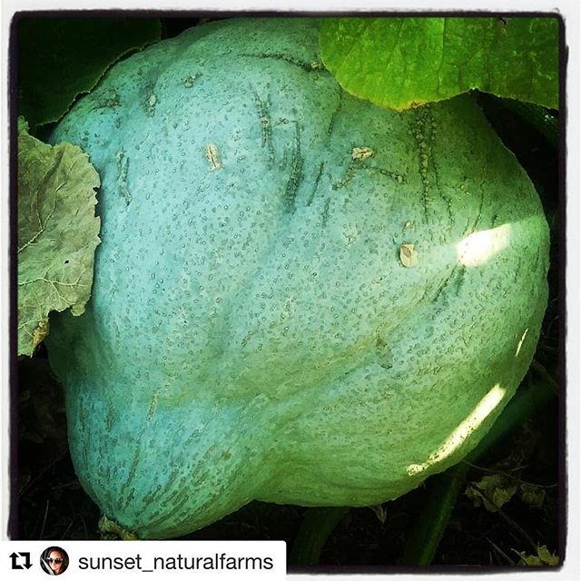 One of the most exciting parts of our event is working with farmers & chefs to highlight the season's freshest harvest! . . . Repost @sunset_naturalfarms with @get_repost ・・・ The winter squash are looking delicious, they will be making their way to the @woodrivervalleyharvestfest  Local restaurants and chefs will be preparing food provided by local farms it doesn't get much better than that! #supportyourlocalfarmer #nofarmsnofood #harvestfestival #localfood #naturallygrown #wintersquash #buylocal #eatlocal #farmfreshtoyou #farmtotable #idahopreferred #idahogrown#locallygrown#farmtofork #growingfood #foodies #farmfresh #whosyourfarmer #nochemicals  #sustainableliving #sustainability #idahofarm#meetyourfarmer #foodsecurity #localfoodforlife