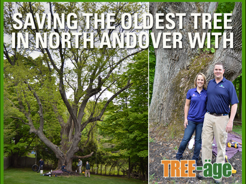 Saving the Oldest Tree In North Andover