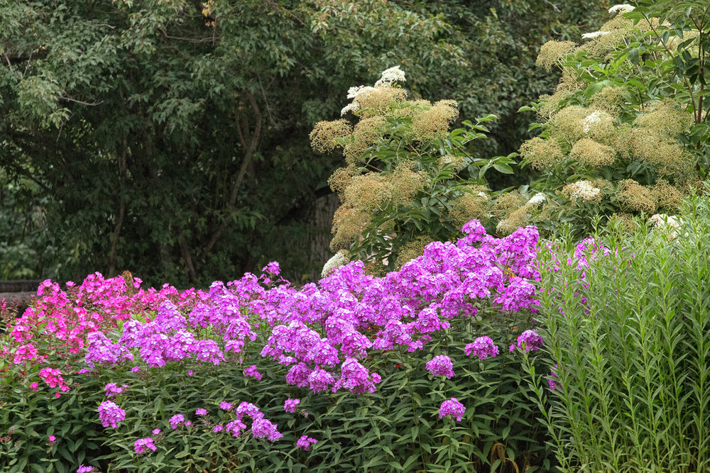 Phlox and Elderberry
