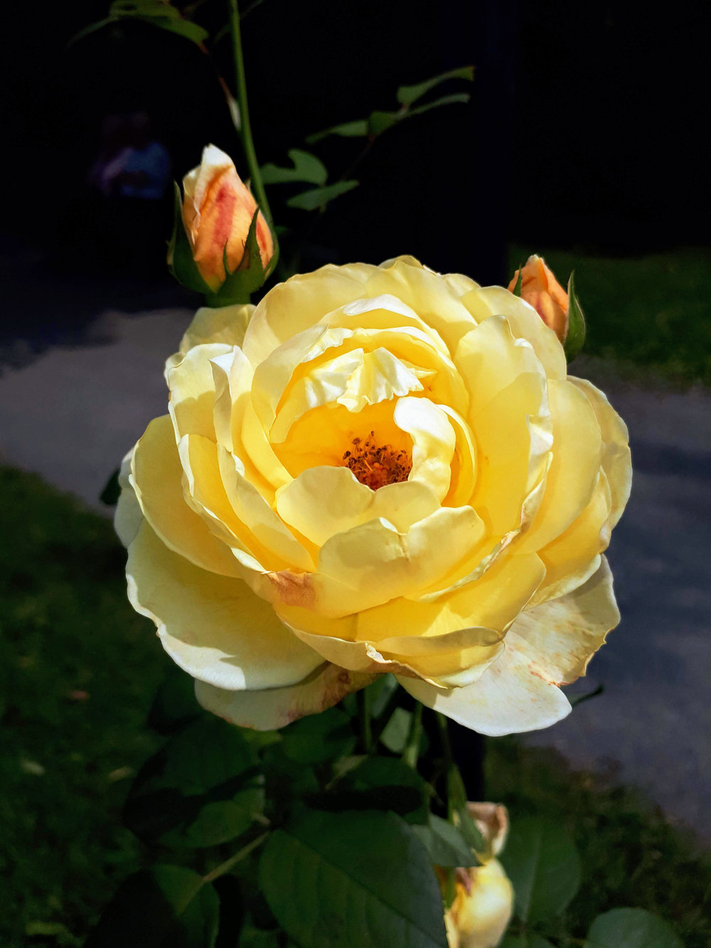 Whats blooming friends of the public gardens rose izmirmasajfo
