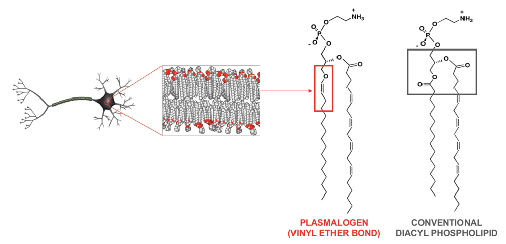 A neuronal cell is shown on the left. The membrane surface of the cell is composed of the lipid membrane bilayer, which contains two rows of lipid molecules packed closely together. This layer essentially acts as a barrier, controlling what enters and leaves the cell. It also serves as the location for which many cell surface proteins, such as receptors, are anchored. Such cell surface proteins are involved in cell-cell communication, activation of signalling pathways involved in various cellular functions, and more.  There are multiple types of phospholipids that make up the cell membrane. Plasmalogens represent one class of lipids, as shown above, that contain the vinyl-ether bond (red box). In contrast, a conventional phospholipid contains two acyl bonds, as shown in the black box. In some cell types, such as neurons, over 50% of the cell membrane can be comprised of plasmalogens.