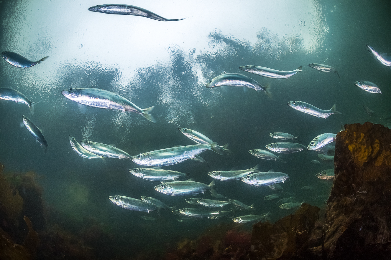 The Lifecycle Of Herring