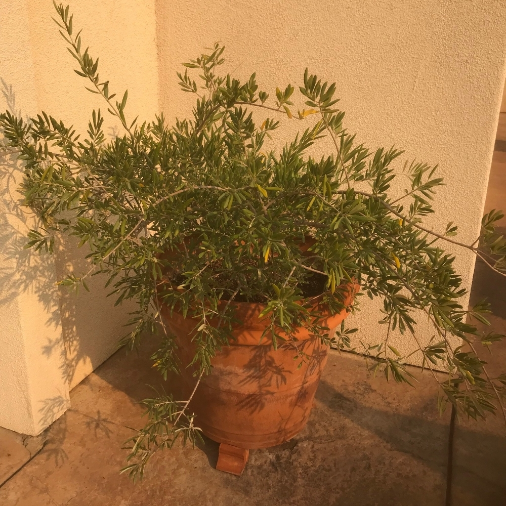 Olive tree in a pot at the entry. Photo by M. Reynolds