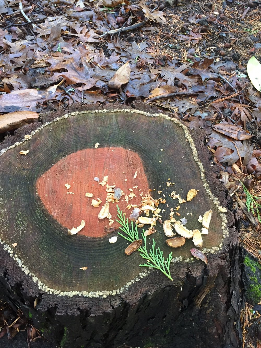 A squirrel's charming dinner plate along the path.
