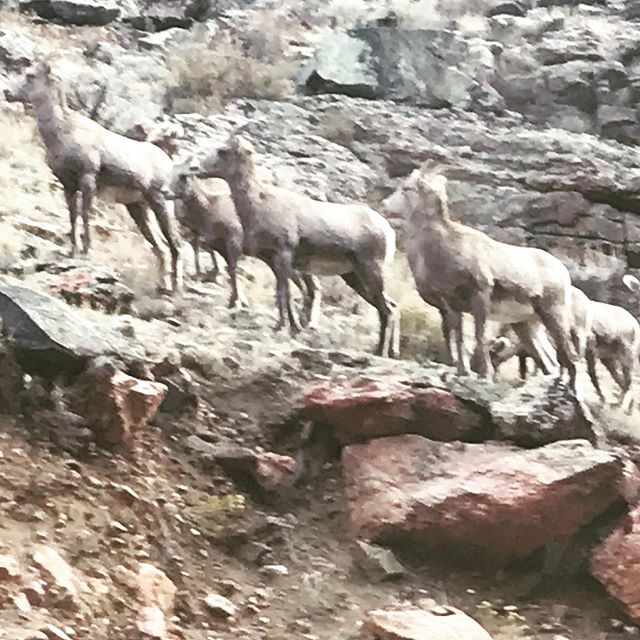 Met these guys in the Highway 114 Canyon this morning… #oldgoats