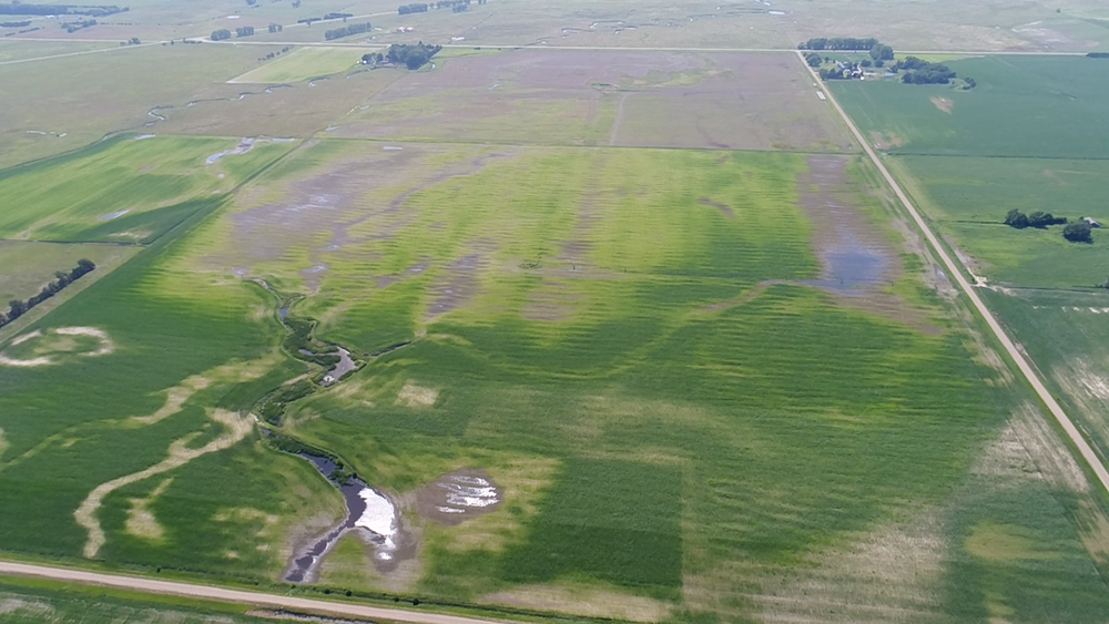 Excessive moisture this spring and most of the summer had severe damage to this field of corn south of Osmond.