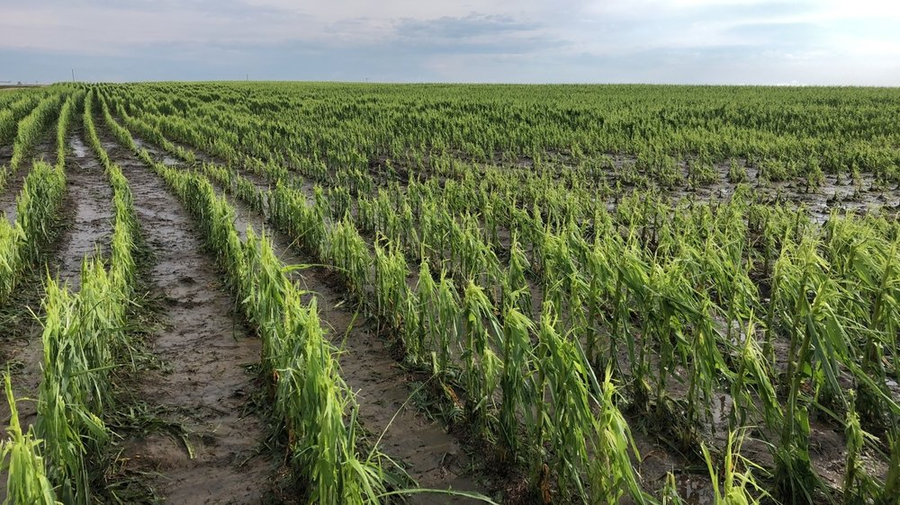 Our insured had extreme hail and wind damage to his corn from the June 30, 2018 storm.