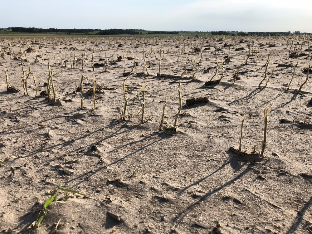 This insured had soybeans hit by the same June 30th storm. This picture was from a week after the storm.