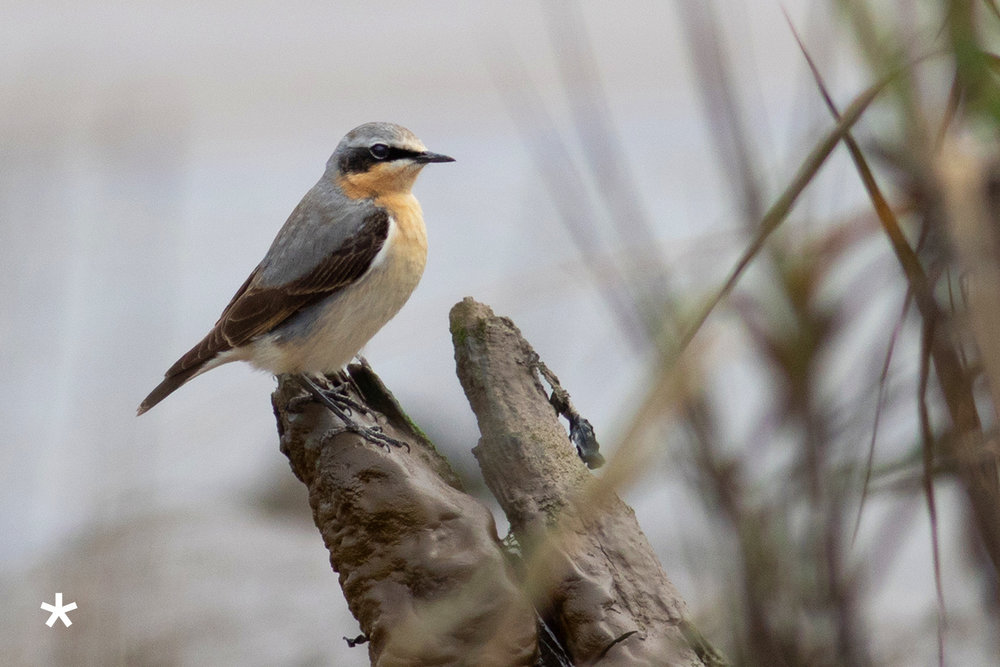 northern wheatear.jpg