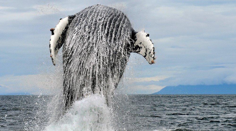 Discover Alaskas Whales HERO jpg.jpg
