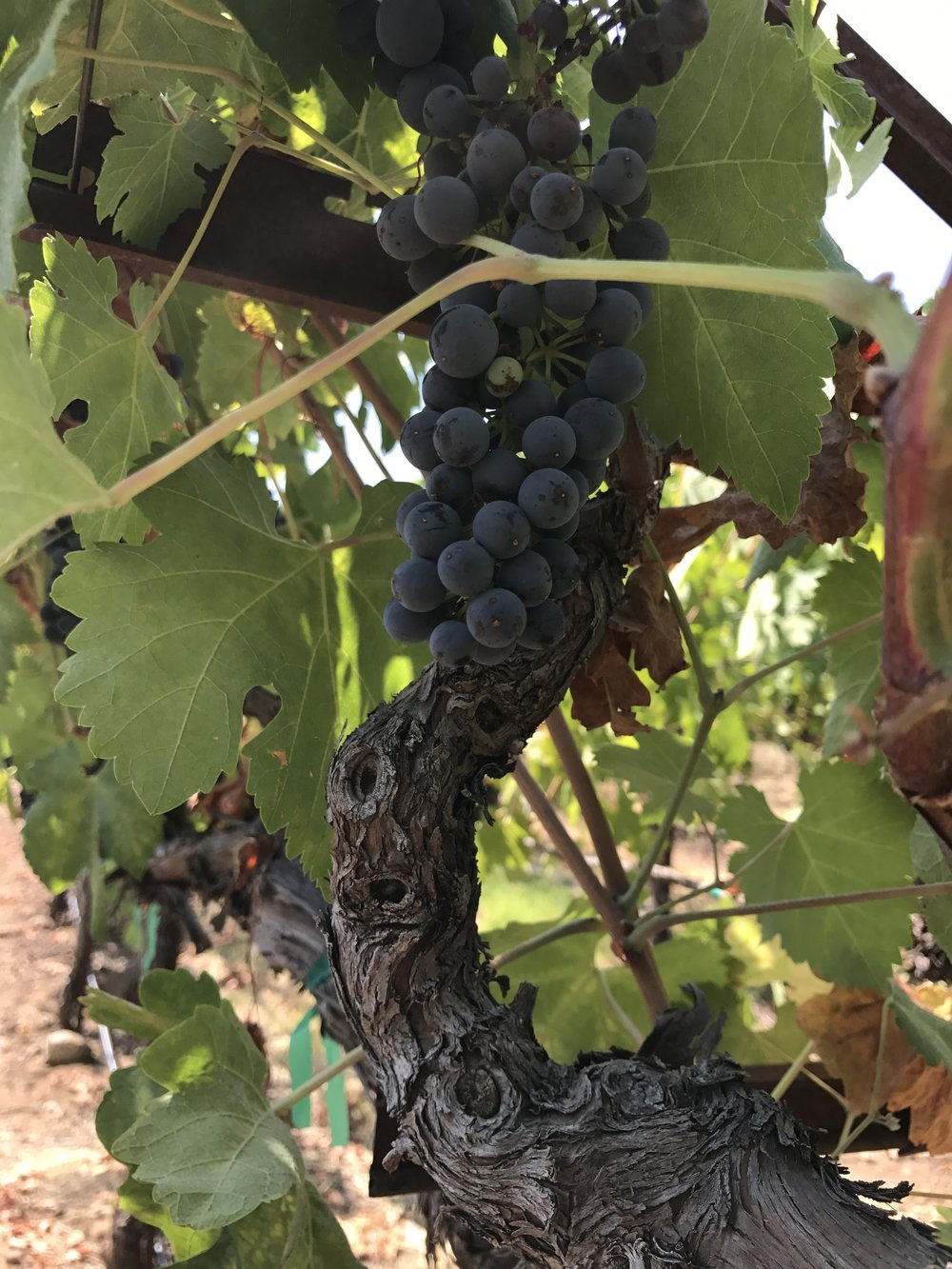 tanner vineyard -