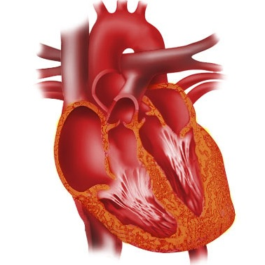 Gallery - Cool images of the heart taken by the lab!