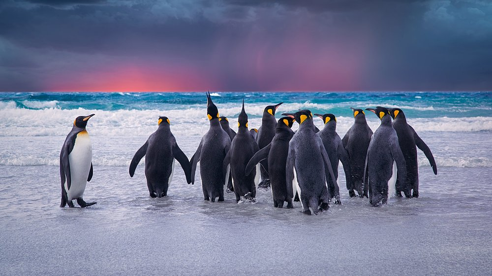 storyblocks-king-penguins-in-the-falkland-islands_B4jXhq6Nz.jpg