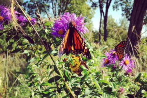 Monarch butterflies on a New England aster plant
