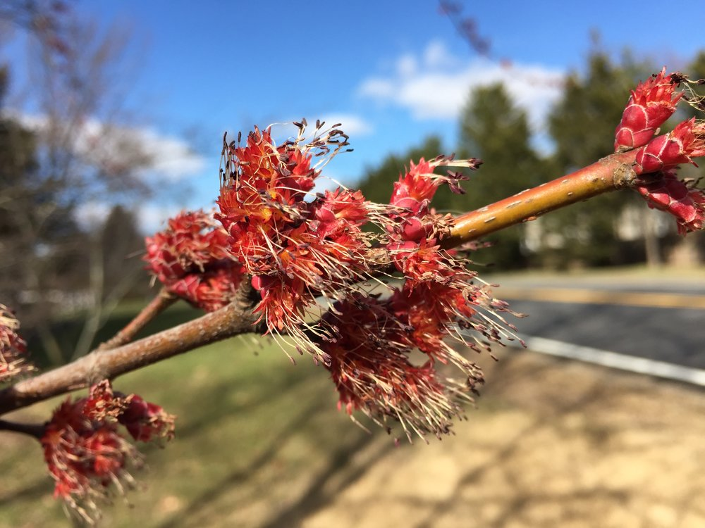 Male Silver Maple blossoms along Lees Corner Road (Virginia State Secondary Route 645) in Chantilly, Virginia. Photo courtesy of Famartin.