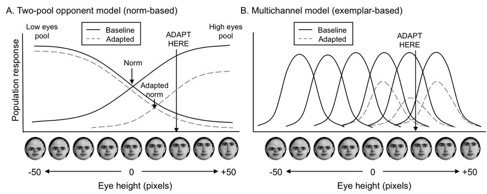 Models of eye height representation in the visual system: a two-pool opponent model (left) and a multi-channel model (right).