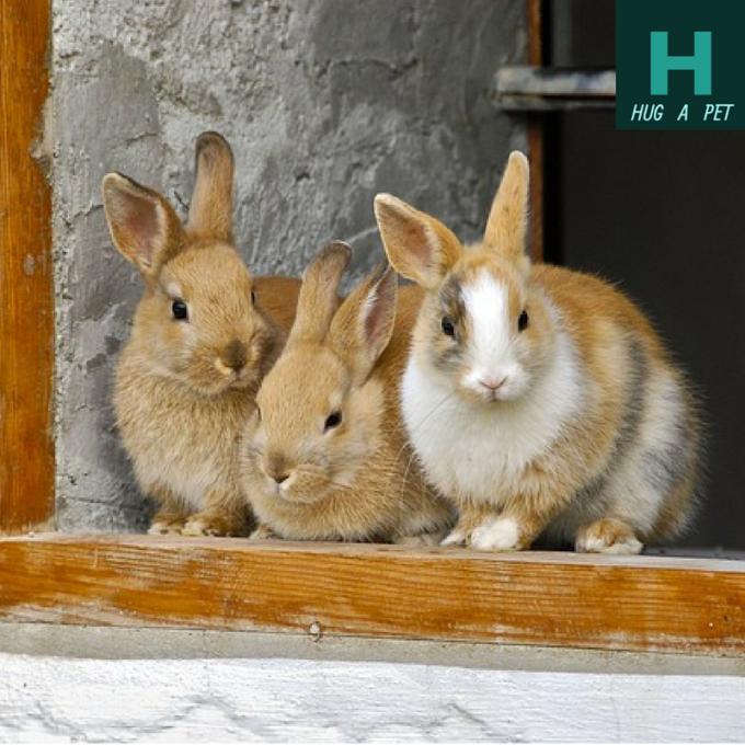 Rabbit-HUG A PET.png