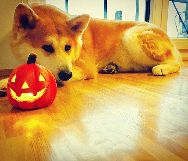 Happy Halloween 👻 #hugapet #berlin #haustier #akita