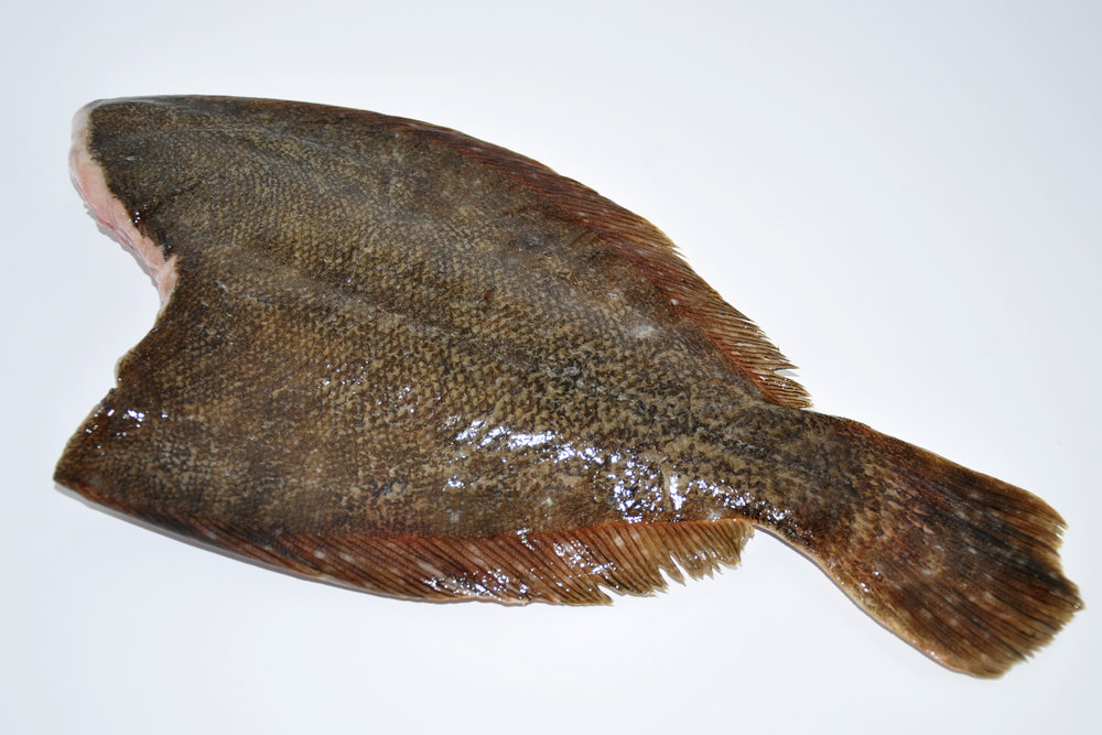 Summer flounder H&G.
