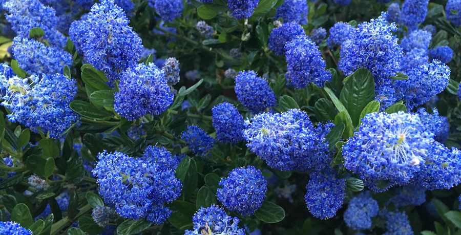 BlueFlowers2.png