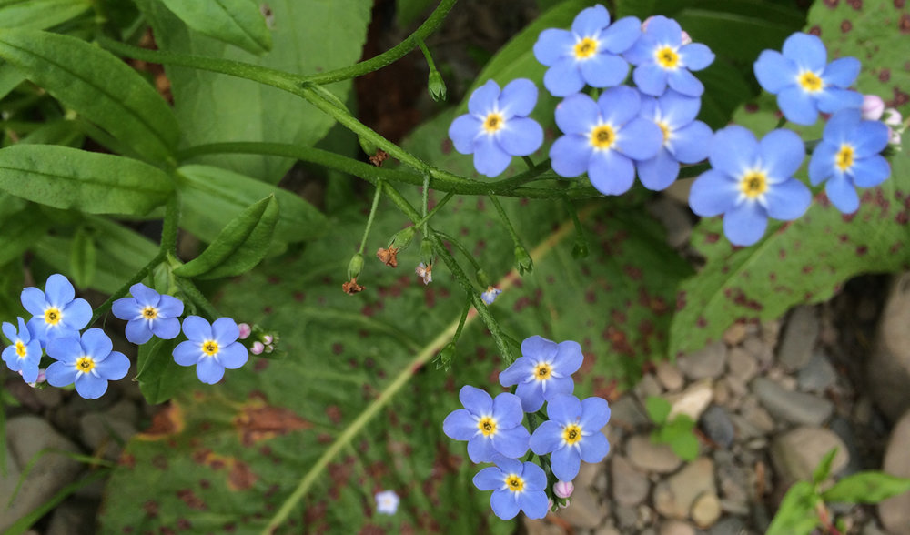 BlueflowersNew.jpg