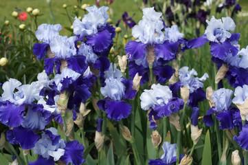 Bearded irises? Tons of rain? Not a great combo…