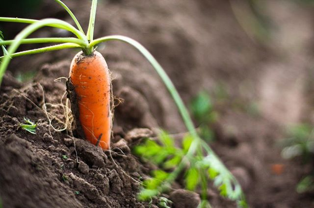 Guess what?!!!! We have more exciting news! Tomorrow our, all time, favorite, carrots are coming back! Local, veganic and grown in the beautiful mountains of lillooet. It doesn't get much tastier! I know a lot of you have been asking about them, so we just wanted to spread the good news that they are back in stock along with some other freshly, harvested, squash and apples!By the way, happy World Vegetarian Day!!! • • • #supportlocal  #organicfarming #freshproduce