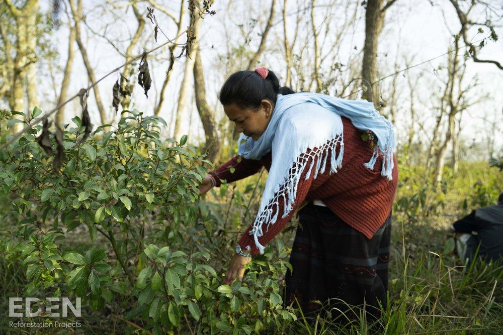 Nepal_2018_Lady clearing brush.jpg