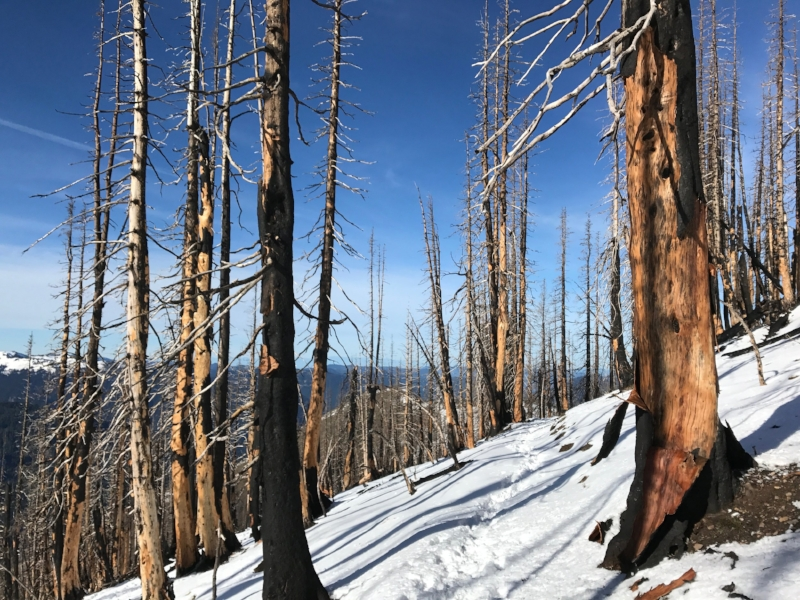 A snow covered trail through burned trees against a blue sky.