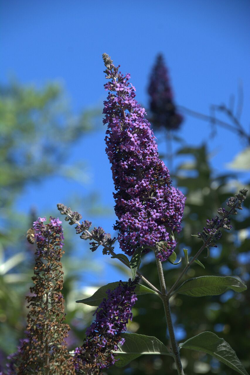 Buddleja Butterfly Bush