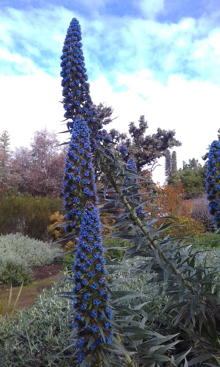 Echium Heronswood Blue