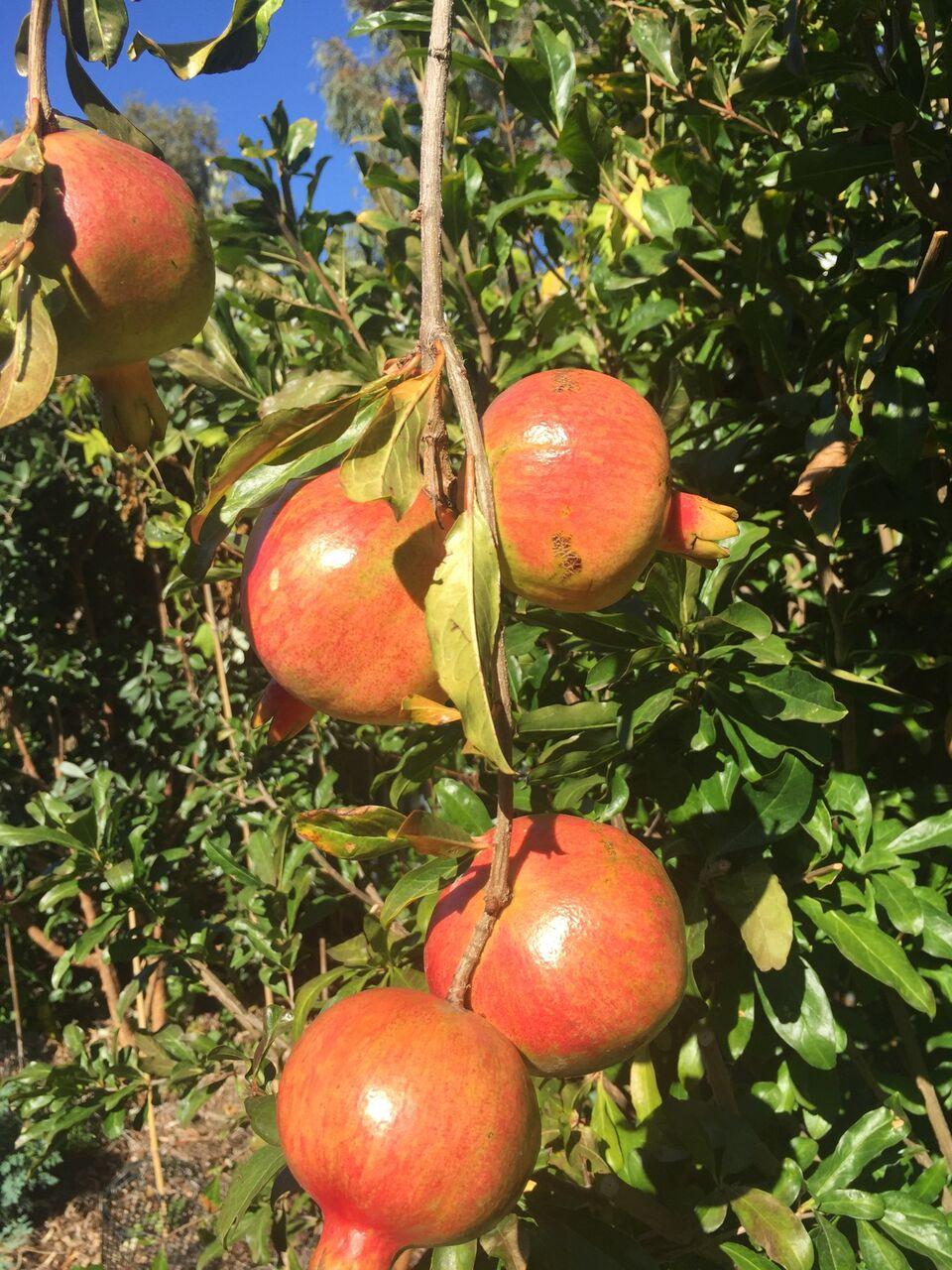Pomegranate At Evette Sunset Garden