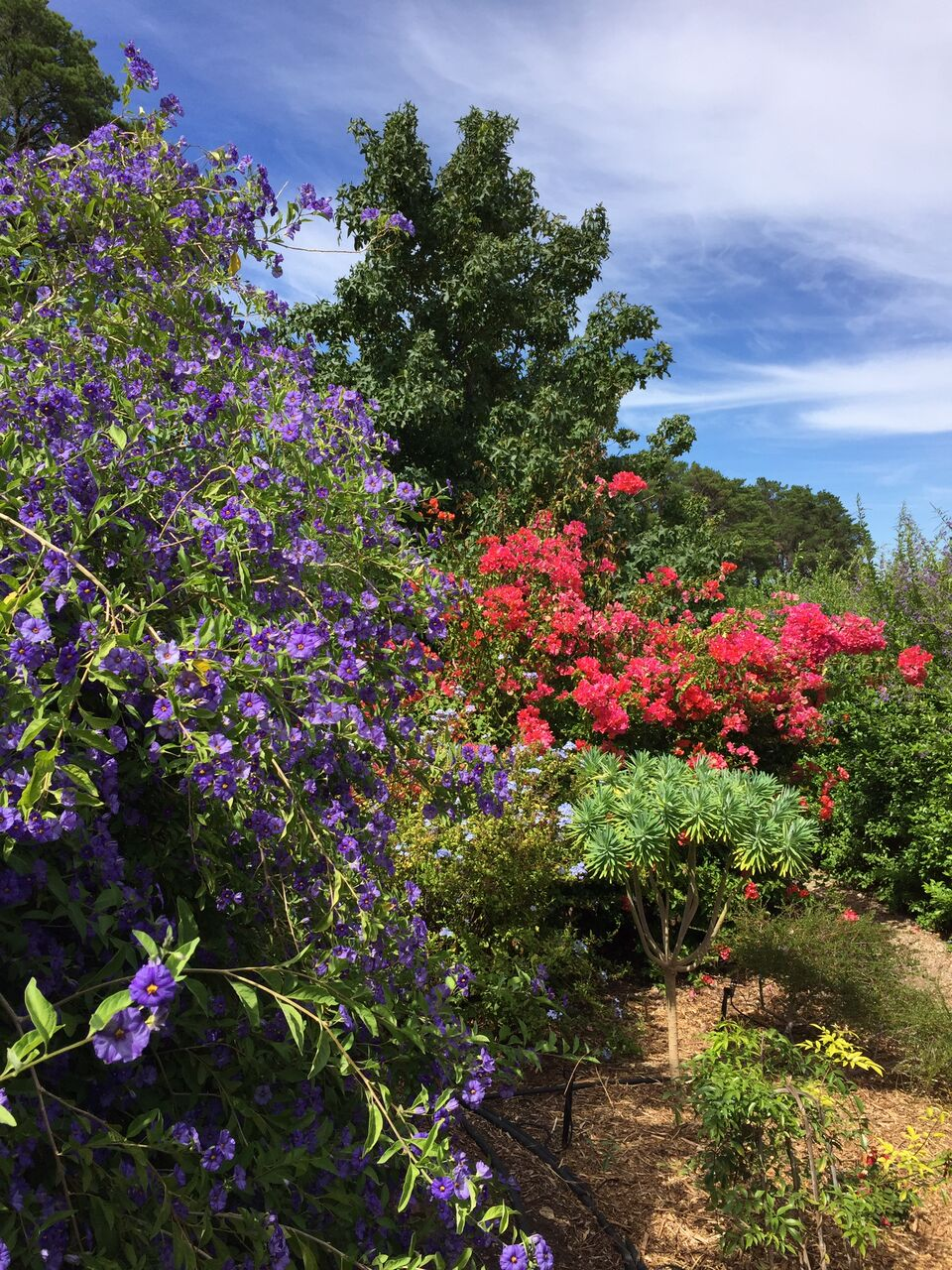 Tipsy Hill McLaren Vale Solanum Rantonnetii Bougainvillea