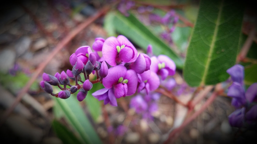 MGS Garden Of Discovery Hardenbergia Violacea