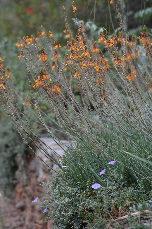 Bulbine Bulbinella At Garden At Sparoza