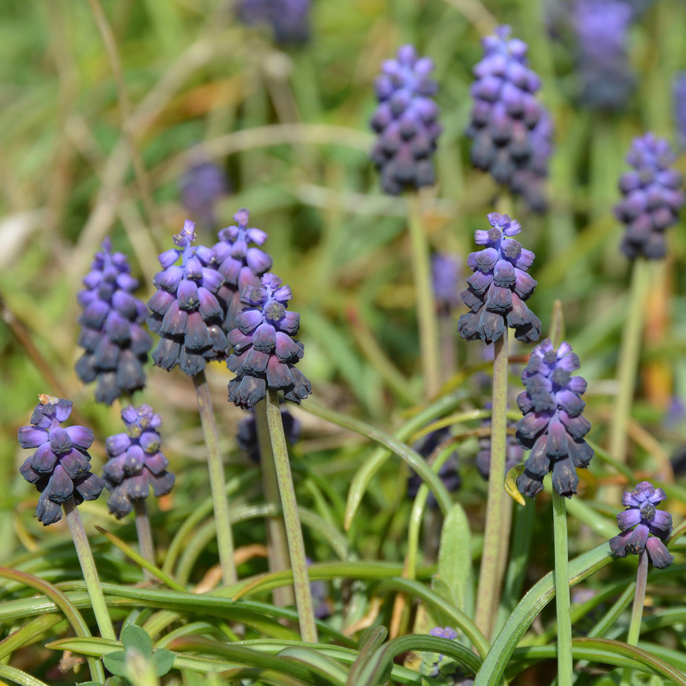 Muscari Latifolium Garden At Sparoza