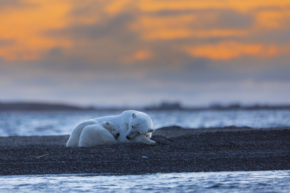 Polar Bear Mother And Cub At Sunset