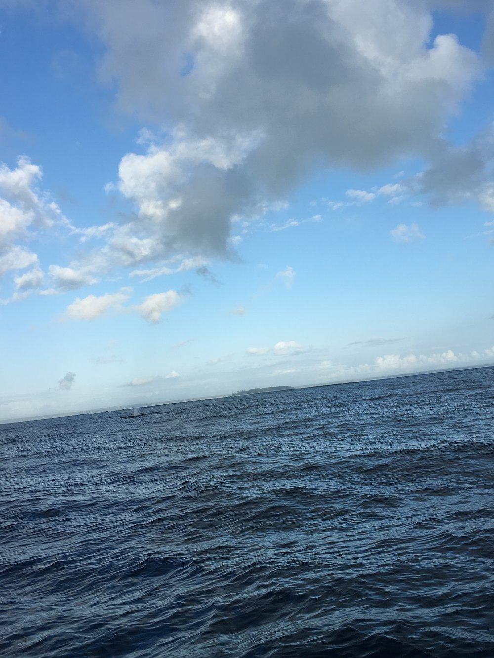 Pod of Humpbacks